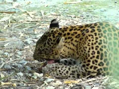 Leopard at Khayerbari