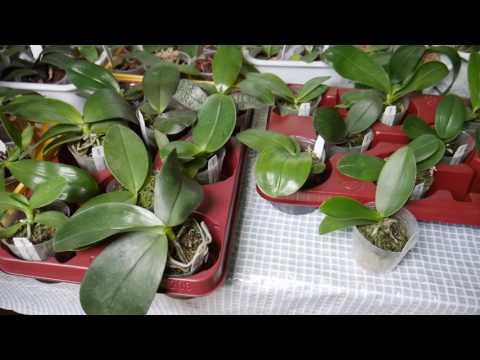 Орхидеи из Азии. Немного об адаптации и пересадке.