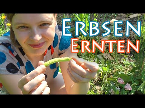 Erbsen-Pflanzen + Saisonkalender Juli ++ The Krauts