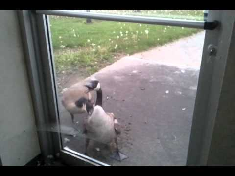 Canada Goose attack and doing some real crazy sh*t