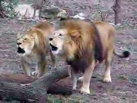 Lions Roaring Together video