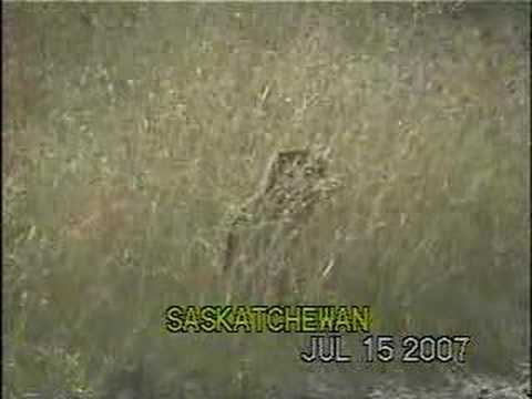 Richardson's Ground Squirrel Video