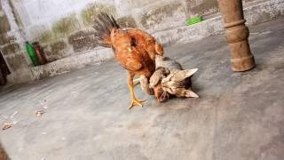 Cat and hen Fight in my home