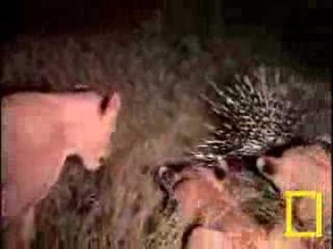 Leão contra porco espinho