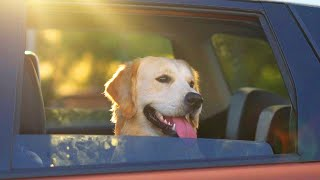 How to Save the Life of a Dog Trapped in a Hot Car