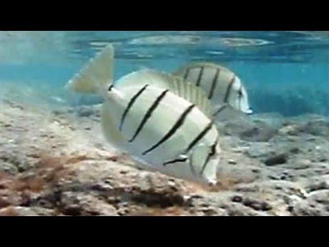 Convict Tang Wiki Convict Tangs Amp Unicorn Fish