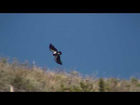 an introduction to california condors