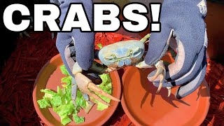RAISING GIANT PET MUD CRABS *UPDATE*