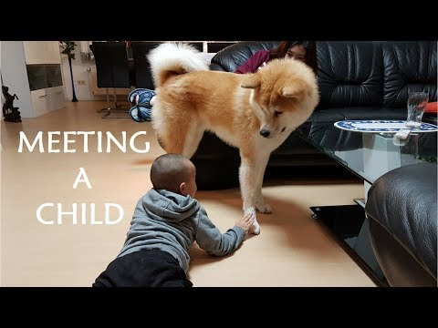 Akita Inu - Meeting a Child (秋田犬)