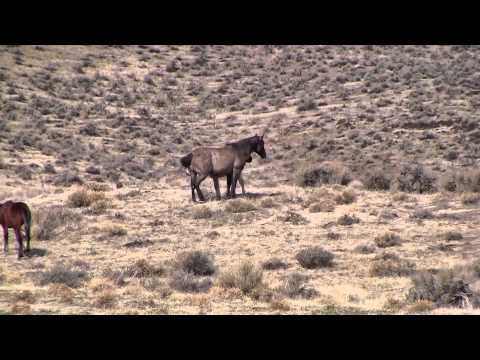Mustangs-Grulla Mare & Buckskin Yearling Video