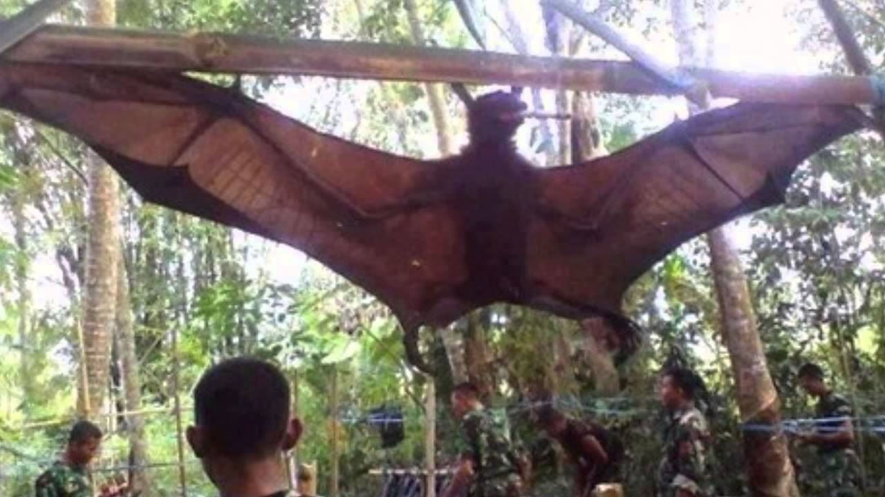 Giant Bat Found In Peru - YouTube