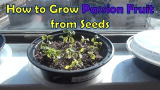 Growing Passion Fruit from Seeds (passiflora edulis)
