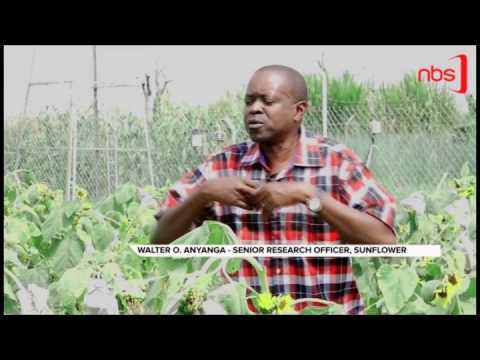 Climate Change Affecting Sun Flower Production