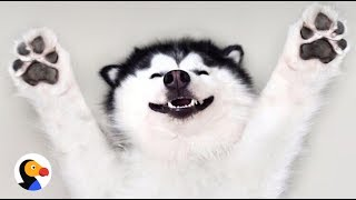Happy Husky Dog Is Always Smiling | The Dodo