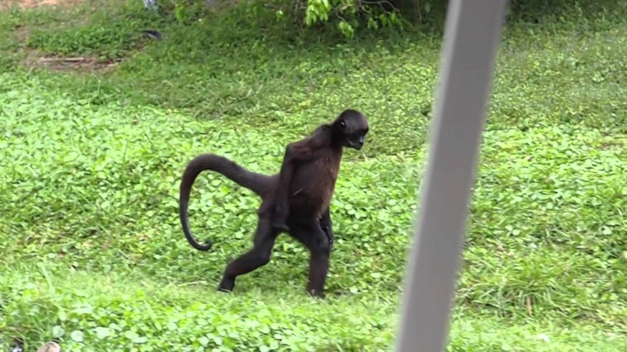 spider monkey walking ...