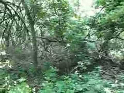 The Caraorman forest, Danube delta