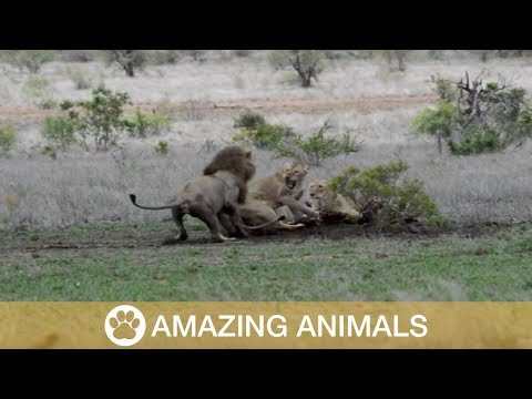 Lioness Protects Meal from Nosy Lion