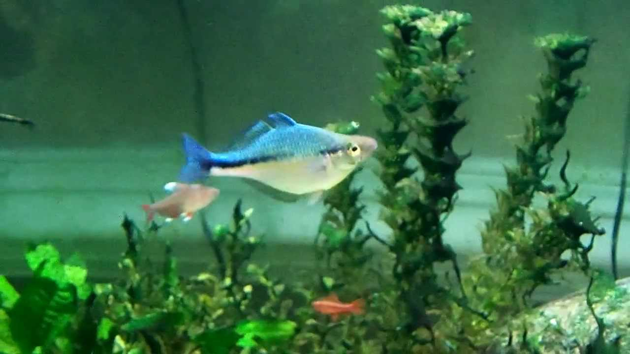 Turquoise Rainbow Fish Turquoise Rainbow Fish