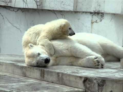 ねぇ、起きて☆円山動物園ホッキョクグマ