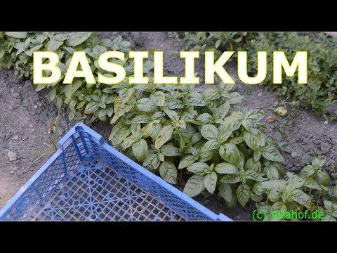 Basilikum - Die Kunst Basilikum zu pflegen