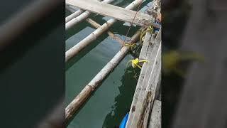 Cần ikada câu cá tráp khủng trên bè nuôi hàu