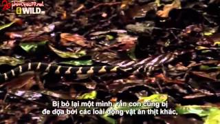 Vietsub Wildlife Secret King Cobra part 4