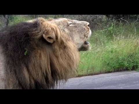 Unusual Lion Behavior (with 2 Sets Of Roaring) - 14 January 2013 - Latest Sightings video