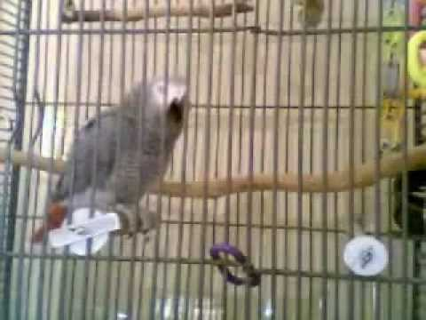 MJ, the African Grey Parrot, Best Talking Video Video