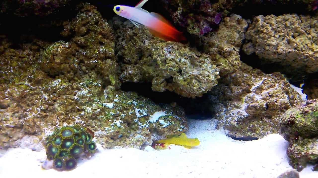 Yellow Watchman Goby Not Yellow Yellow Watchman Goby Fire