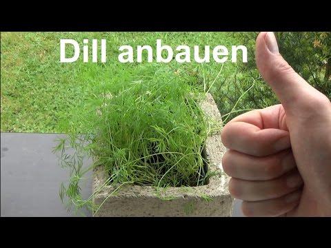 Dill anbauen Dill aussäen selber anbauen pflanzen und ernten