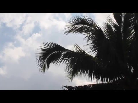 Coconut Trees Dancing With the Sound of Crashing Wave - Maui, Hawai'i
