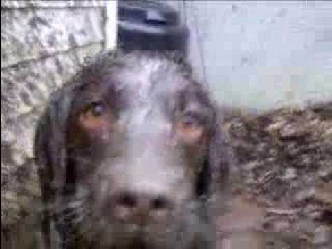 Mud: A springer Spaniel Story. (MASSS) Video