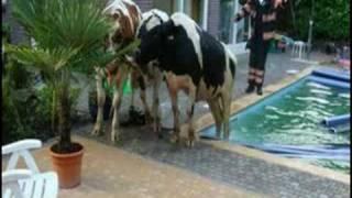 Koe springt in zwembad Nuenen