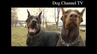 Doberman. An introduction to the breed.