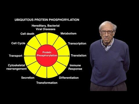 Edmond Fischer (U. Washington): Reversible Protein Phosphorylation as a Regulatory Mechanism