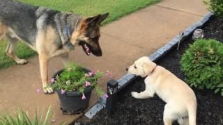 German Shepherd meets Lab Puppy