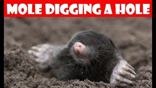 🔝 Mole Digging a Hole - Caught on Camera
