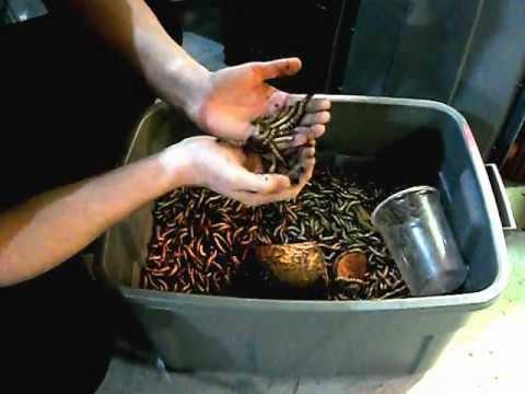 Условия разведение червей в домашних условиях