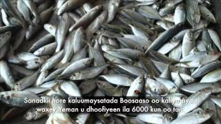 Kaluumaysatada Puntland: Samaynta Shabakad balaaran
