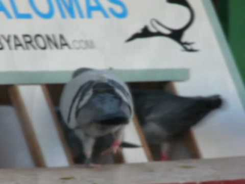 Maritime-1 Race Derby Internacional Arona-TENERIFE Pigeon Race Part 3/3