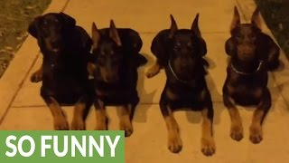 Obedient Dobermans Flawlessly Shows Off Amazing Skills