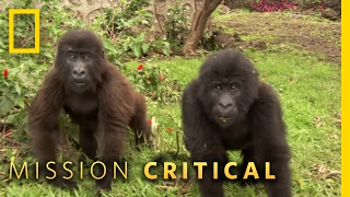 Protecting Orphaned Gorillas | Mission Critical