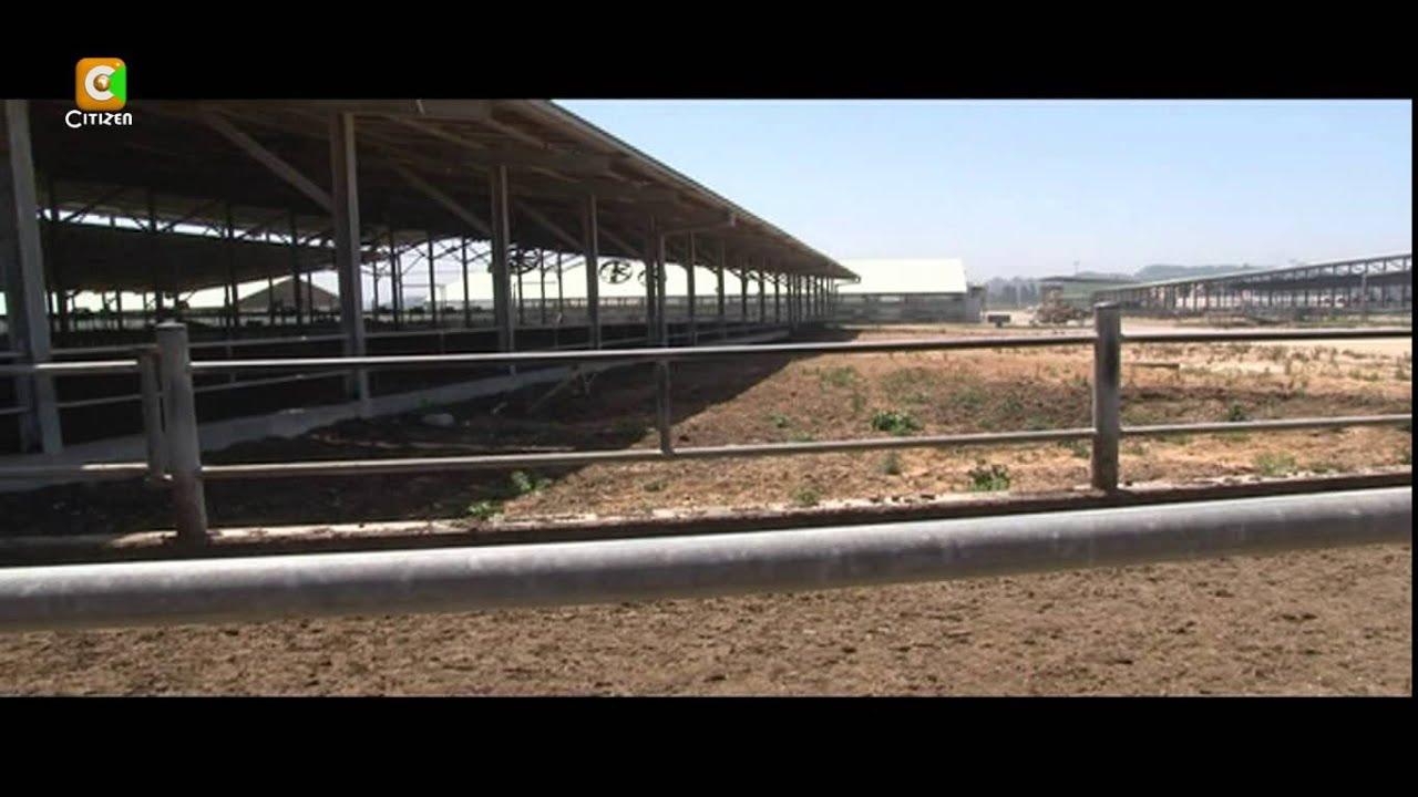 Dairy Farming in Israel Smart Farm Dairy Farming in