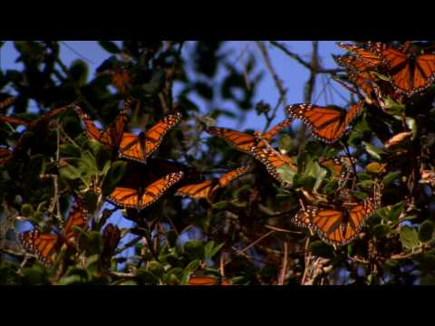 Monarch Butterflies Migration - from BlueMarvel.com