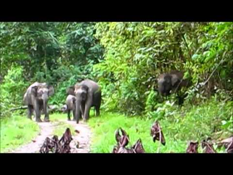 Elephant herd emerges from the Sabah Jungle - High-Definition Audio