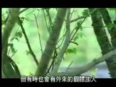 【陽明山國家公園管理處】台灣藍鵲的故事-群居性