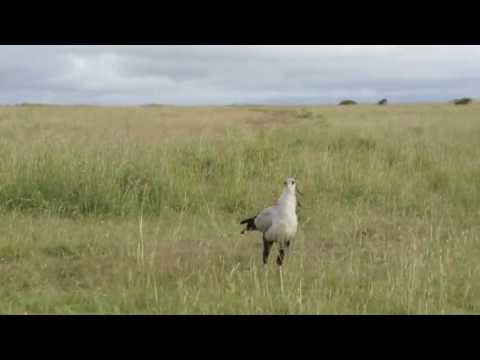 Secretary Bird taking flight- Nairobi National Park, Kenya