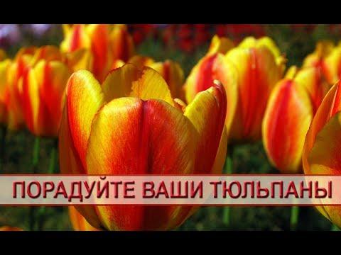 Тюльпаны - выращивание и уход. Чем и когда подкормить тюльпаны - советы садоводам