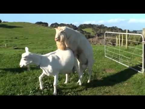 Mating Goat Breeding video