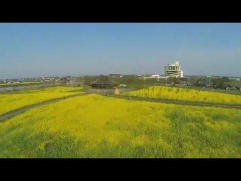 福島潟の菜の花 新潟市